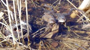 Nu är våren definitivt här för nu har grodorna kommit till Agnmyren på Sollerön.