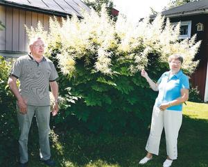 HÖG VÄXTLIGHET. I Curt och Inga Brandtmans trädgård på Söder i Gävle finns det en huvudperson – plymspirean. Den är 2,5 meter hög och tio meter i omkrets. Svartvinbärsbusken bakom kommer i skuggan.