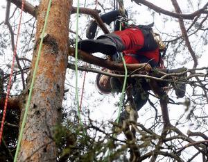 Mikael Aronsgård jobbar koncentrerat uppe i en stor tall för att befria den från onödiga grenar.