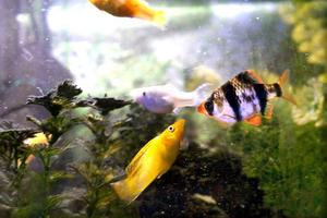 Tigerbarber och olika varianter av mollys är populära akvariefiskar.
