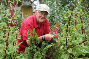 Allan Nyström skördade bland annat egenodlad mangold, som ska användas i den ekologiska soppa som serveras i Forsparken, Alfta i dag lördag. Han naturgödslar sitt land, berättar han. Grönsakslandet ligger intill AlftaQurens lokaler, där Rättvisefesten startade på fredagen.