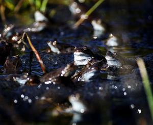 Hundratalt grodor har samlats i Grodtjärn för att para sig. Äggen har ett geléaktigt hölje och de klumpas ihop ute i vattnet.