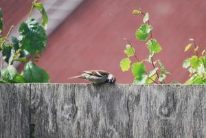 I sommarhettan 2011 tog sig den lilla fågeln  en liten vilopaus på staketet efter sin flygtur.