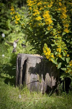På en stubbe brukar Monika Kärnell lägga ut kex till sina näst intill tama gårdsfåglar. Att bara sitta och vara ett med naturen betyder mycket.