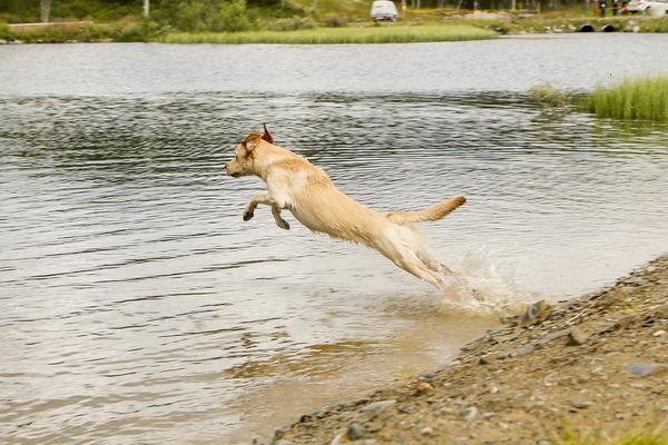 Jaktlabradoren Leia kastar sig ut efter dummien som finns i vattnet.