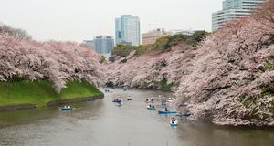 Körsbärsträden i parken Chidorigafuchi, Tokyo.