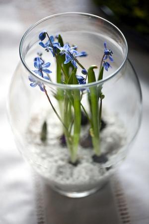 Enklare kan det inte bli och knappast vackrare heller. Några blåblommande scillalökar täckta med vitt konstgrus, som om de växte upp ur snön, i en kupig glasvas. Foto:Johan Solum
