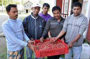 Fem man fick under onsdagen ihop sju kilo blåbärsblandad lingonkart i skogarna kring Bensjö. Det är långt ifrån den skörd som utlovades vid rekryteringsmötena hemma i Bangladesh.