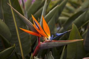 Papegojblommor växer överallt på ön. Många turister köper hem dem i praktiska kartonger som kan checkas in på flyget.