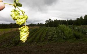 I det geografiska området Dalarna och Gävleborg odlades det förr mer humle och maltkorn än någon annanstans i landet. Foto: Mikael Forslund