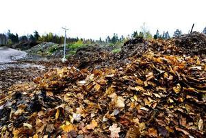 löv på hög. Löven som samlas ihop på gatorna körs sedan till en stor kompost vid det gamla regementet I 14 nära högskolan.