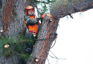 Roger Andersson arbetar med att fälla träd.