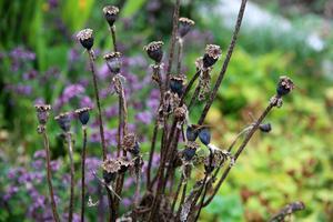 Många växter har gått i fröställning. Anna samlar mycket frön till års odling.