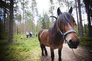 Nordsvensken är en riktig arbetshäst och har för vana att dra lass genom skogen.