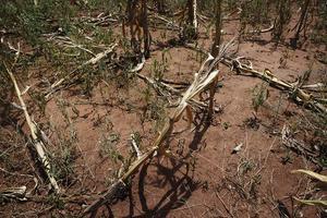 Torkan har varit förödande i Malawi i år. Problemen är akuta men lösningen är en långsiktig storsatsning på ett hållbart jordbruk, skriver biståndsorganisationen We Effect. .FOTO: MALIN VON STRAUSS.