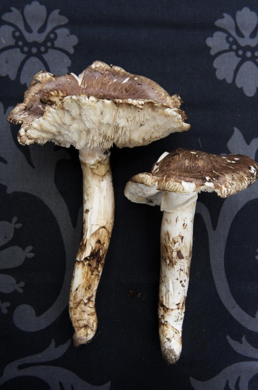 japansk svamp i sverige