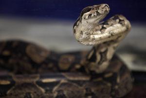 Färgen på skinnet hos den tio miljoner år gamla spanska ormen har stora likheter med en boa constrictors färger. Foto: Seth Wenig/AP/TT