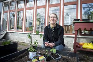 Ulla Westrin brukar ta tjuvskott från sina tomatplantor på hösten och på så sätt få många nya plantor helt gratis.