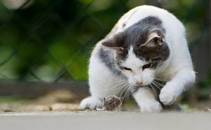 Det finns en liten gynnare som heter toxiplasma gondii som skulle kunna kallas för kattens bästa vän. Denna så kallade zombieparasit är nämligen känd för att hjärntvätta möss så att de blir fullkomligt dödsföraktande.
