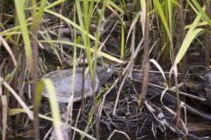 """Kärrsköldpaddan. """"Släpp för guds skull inte ut sköldpaddor. Det här är djur som lever länge och är till viss del självgående men kräver ändå omsorg"""", säger länsveterinären Marek Goczkowski.Foto: Seth Jansson"""