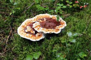 Fårtickan är en utomordentlig matsvamp, tipsar Stig Norell.
