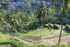 Risterrasserna i Tegalalang är en turistattraktion i sig.