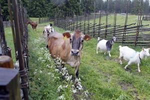 Förutom kor finns även getter på Svedbovallen. Djuren strövar fritt om dagarna, men på nätterna är getterna och kalvarna inomhus medan mjölkkorna står innanför elstängsel till skydd mot rovdjuren i skogen runt omkring.