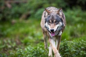 Socialdemokraterna och Miljöpartiet är splittrade om licensjakt på varg. Mostphotos