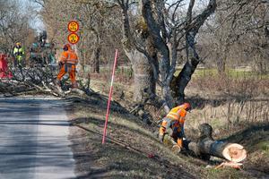 Motorsågsljud har hörts runt slottet senaste veckan. Svevias anställda har tagit ner träd som riskerat att falla på trafikanter.