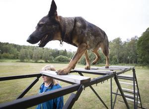 Åsa Damberg övar schäfern Varga att gå på en stege.