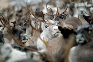 Sedvanerätt till vinterbete för ren i Härjedalens skogslandskap har inte samebyarna, enligt Härjedalsdomen. Det hoppas en sameby få ändring på, men markägaren Lennart Olsson tror att domen håller.