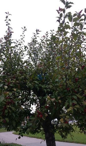 Min son Texas tycker om att klättra i träd. Jag han inte komma ur bilen fören han hade klättrat upp i vårat äppelträd