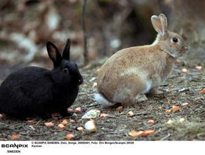 Kaninerna på bilden bor i Norge och hotas inte av kaninmördaren.