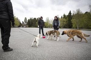 På kursen får hundarna inte leka eller umgås, men ibland tar de passar de på att komma lite närmare någon annan för att lära känna varandra lite bättre.