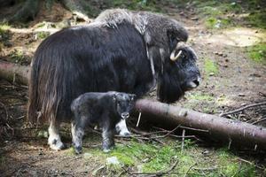 Den nyfödda kalven följer mamma Unni tätt, tätt intill.
