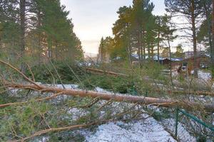 Utanför Hede hade skogarbetare fullt upp att rensa upp efter alla omkullfallna träd som dragit med sig ledningarna.
