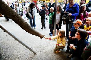 Evelina Wedin, 7 år, lät sig inte skrämmas när hon matade cirkusens elefanter.– Det bästa med kvällen var djuren. Jag rider mycket på fritiden, säger hon.