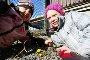 """""""Jag och mina döttrar har hittat Tusselago vid Minnesgärdet Östersund. Härligt! Mina döttrar heter Ebba och Aina Qvarfell och bor på Frösön"""".  Det skriver Hans Qvarfell, som tagit bilden."""