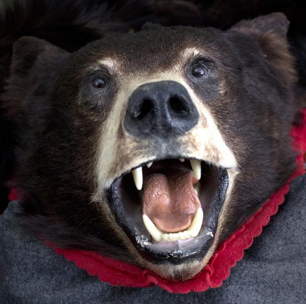 jaktTrofé. En av de svartbjörnar som Bo har fällt på jakt i Kanada.