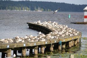 Räknade till c:a 120 fåglar sittande på samma pir in till Västerås småbåtshamn vid Mälarparken. Ett imponerande antal man inte så ofta ser på den piren även om denna pir är en plats där många fåglar samlas