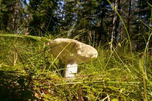 Mandelkremlan är en av de svampar som svenskarna är dåliga på att plocka, trots att den smakar utmärkt.