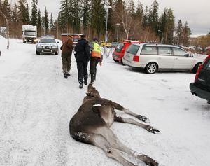 Polis och jägare drog älgarna till en väntande släpvagn för färd till Hammerdals slakteri.