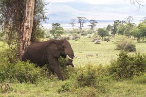 En ensam, gammal elefanttjur på vandring i Serengeti. Glädjande nog såg vi flera rätt stora grupper av de ståtliga och intelligenta djuren som annars, runt om i Afrika, hotas av en allt mer intensiv och hänsyndslös tjuvjakt av välorganiserade brottssyndikat. Allt för att tillfredsställa de allt talrikare, rika kinesernas behov av statusprylar i elfenben.  Foto: Sune Liljevall