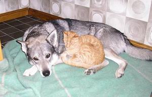 """TROGEN JAKTKOMPIS OCH EN CHARMERANDE VÄN.""""Hunden, en trofast jaktkompis och sällskap. Katten,en självständig och charmerandevän."""" Inskickad av Ruth och Ulf Jonasson, Trångsviken."""