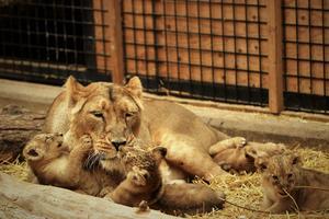 Mamma Ishara med sin fyra små ungar. Foto: Parken Zoo