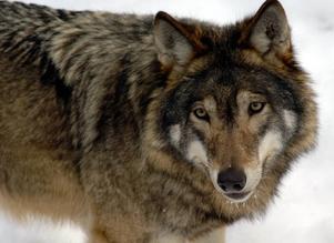 I december konstaterade länsstyrelsen att två vuxna vargar rört sig i det så kallade Glamsen-reviret strax söder om Gävle.