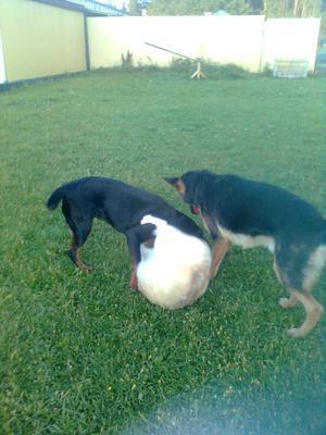 Rolig bild på min och grannens hundar,en av hundarna har lyckats att bli en boll under leken