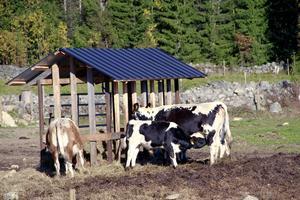 Sju fjällkor finns för närvarande på tv-bondens gård.