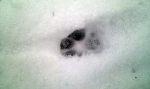 Så här såg spåret i snön ut.