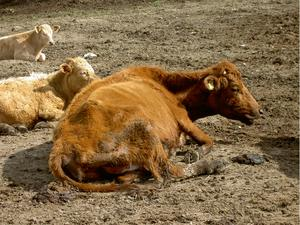 Avmagrad. En av korna i underhull i lösdriften vid den oanmälda inspektionen i mitten av maj, då flera av djuren visade sig vara måttligt till kraftigt avmagrade.